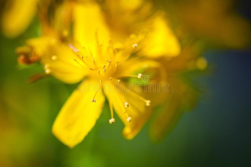 Yellow St Johns flower. On green meadow royalty free stock image