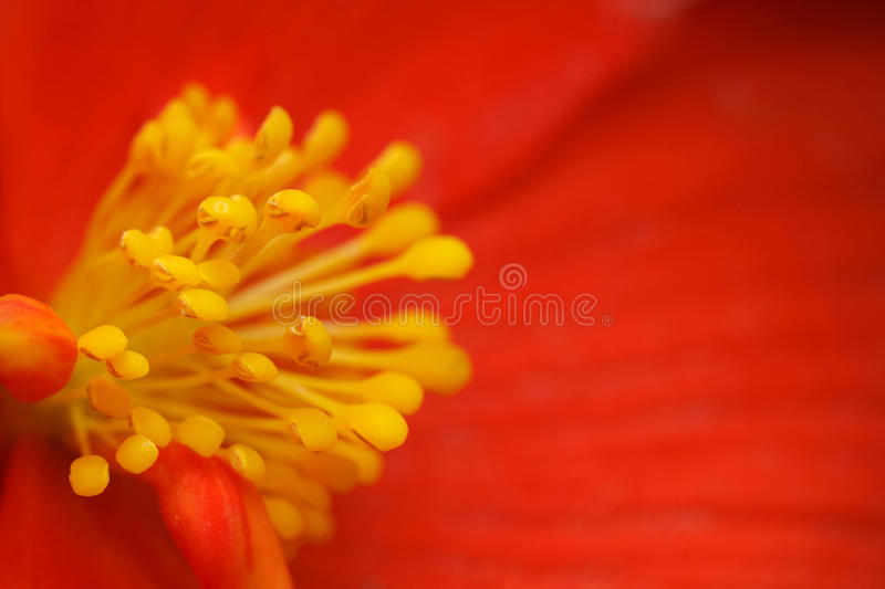 Yellow stamens of flower begonia with red petals. Yellow stamens of the flower begonia with red petals, close-up photography stock photography