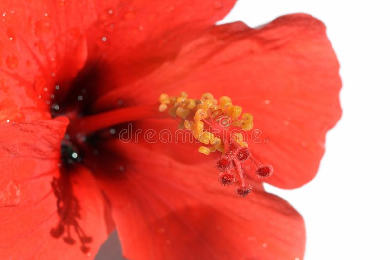 Yellow stamens on a red pestle of Hibiscus flower stock photos