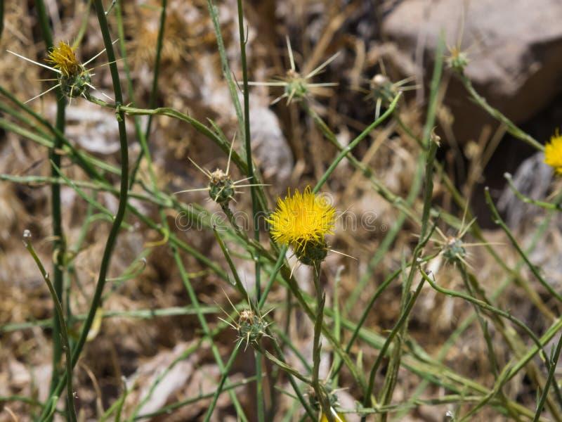 Yellow star thistle or centaurea solstitialis flower macro download yellow star thistle or centaurea solstitialis flower macro selective focus shallow dof mightylinksfo