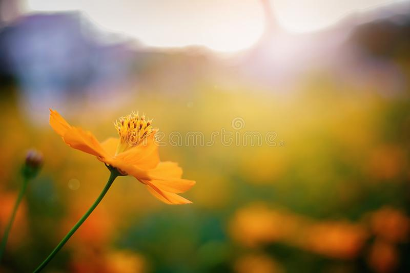 Yellow starburst flowers, Mexican Aster that is beautiful with a beautiful blurred bokeh background.  royalty free stock image