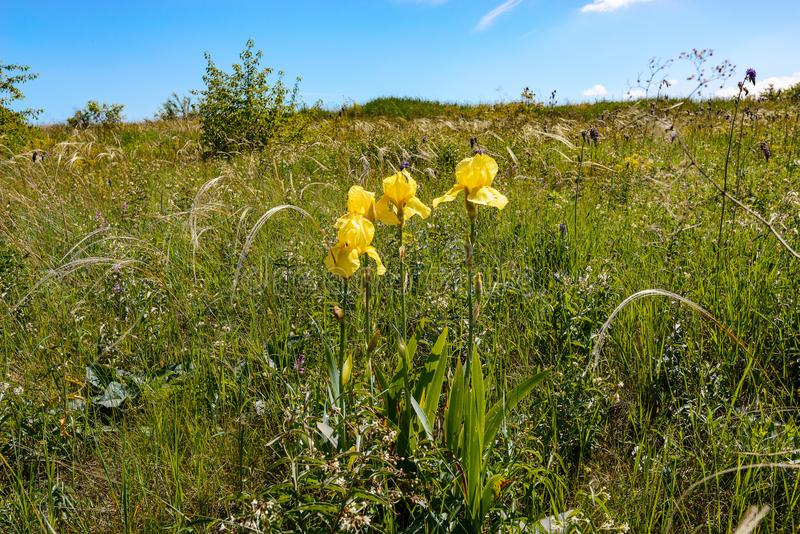 Yellow steppe flowers and chic feather grass royalty free stock image