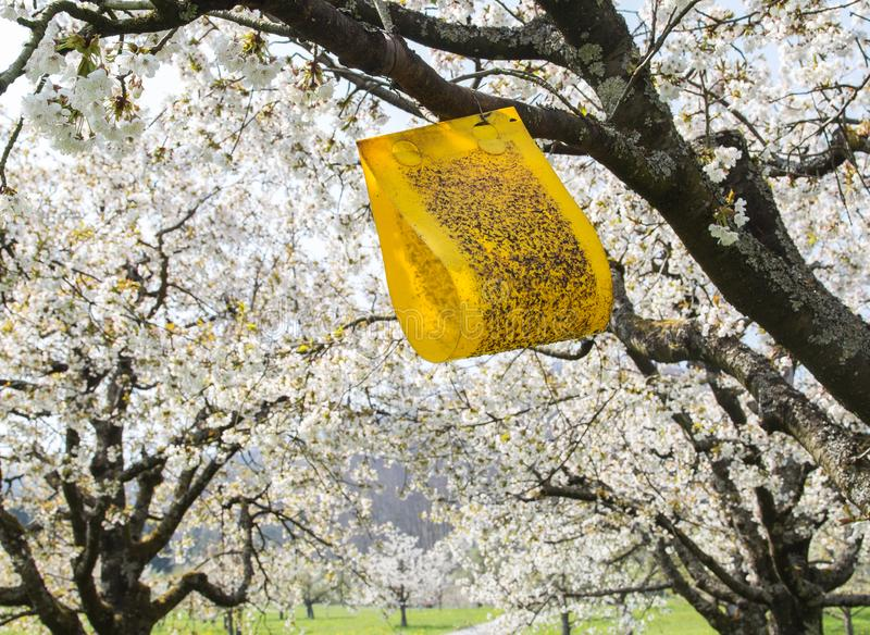 Yellow sticky cherry fruit fly trap hanging on cherry blooming tree. To prevent pests stock photos