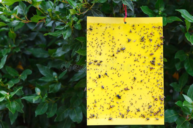 Yellow sticky insect trap hanging on the tree. stock image