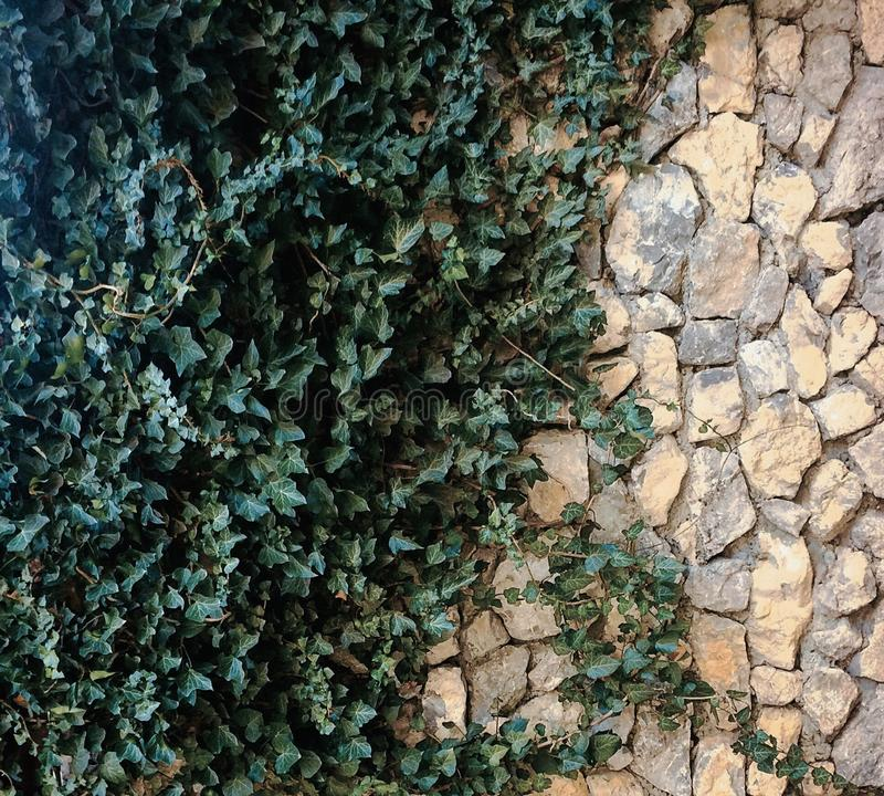 Yellow stone wall with green ivy in summer stock photos