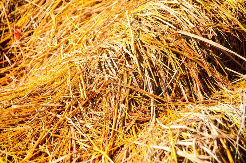 Yellow straw dry royalty free stock photography
