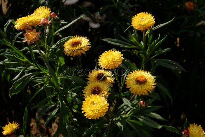 Yellow straw flower in outdoor garden. Xerochrysum bracteatum,W stock image