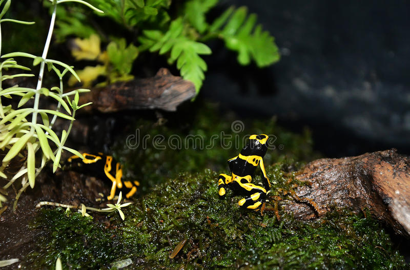 Yellow Strawberry poison dart frog. Poison dart frog from Panama rain forest. This exotic amphibian has many color variations stock image