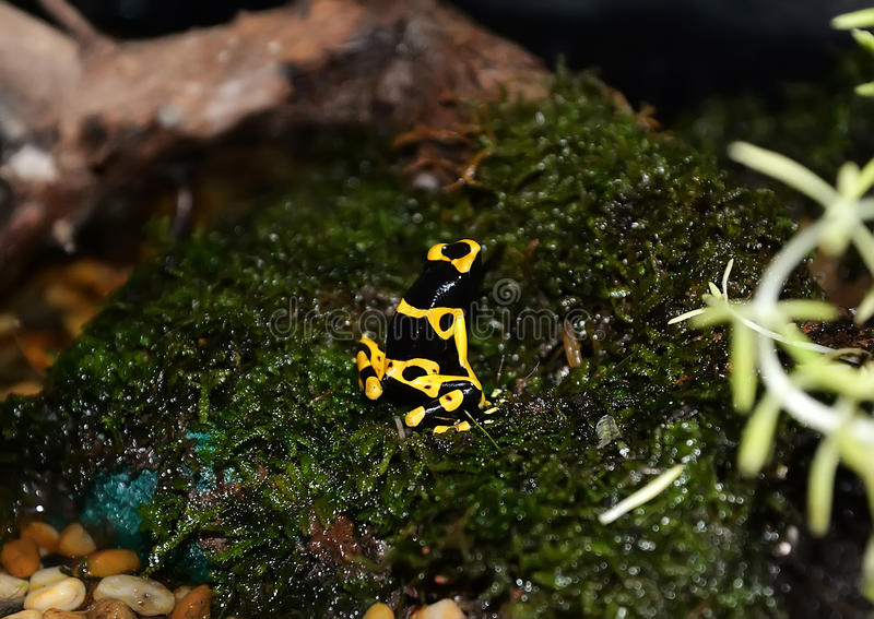 Yellow Strawberry poison dart frog. Poison dart frog from Panama rain forest. This exotic amphibian has many color variations royalty free stock image
