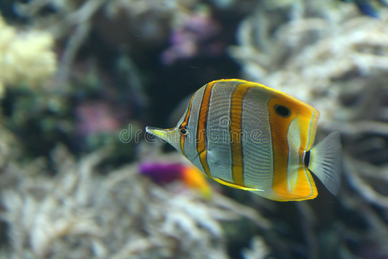 Yellow Stripe Angel Fish Stock Photos