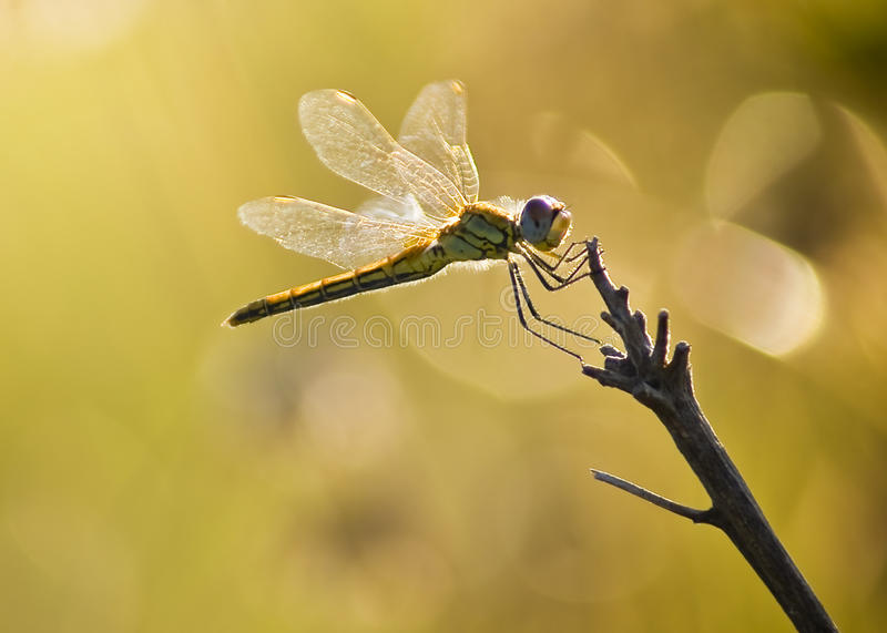 Yellow Striped Hunter Dragonfly On A Twig Stock Photos