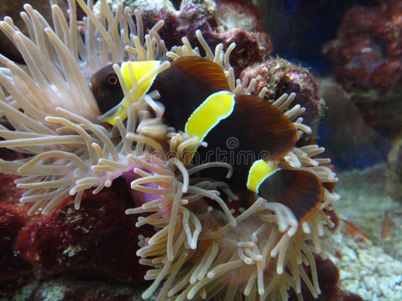 Yellow-striped maroon clownfish royalty free stock image