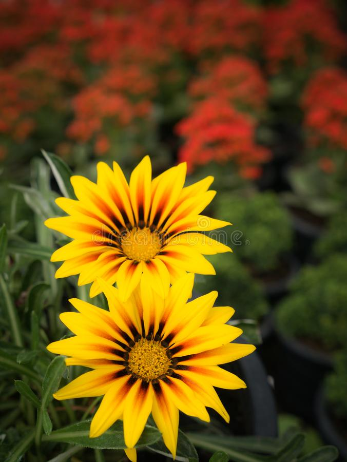 Yellow Striped Red Gazania Flowers. The Yellow Striped Red Gazania Flowers with The Red Flowers Field in Background stock photography