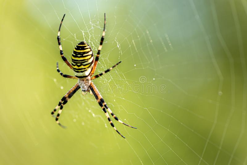 Yellow striped spider outside in green nature in her spider web. Argiope bruennichi also called zebra, tiger, silk ribbon, wasp. Yellow striped spider outside in royalty free stock photo