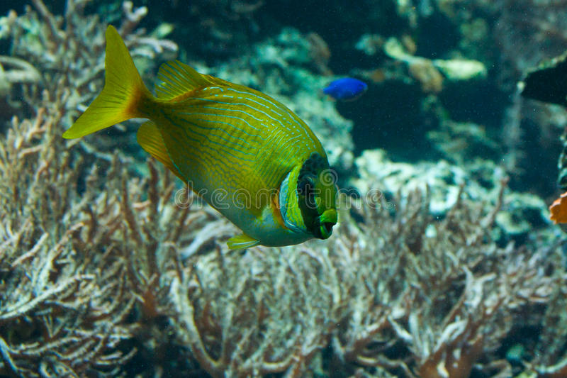 Download Yellow Striped Tang Stock Photos - Image: 16146483