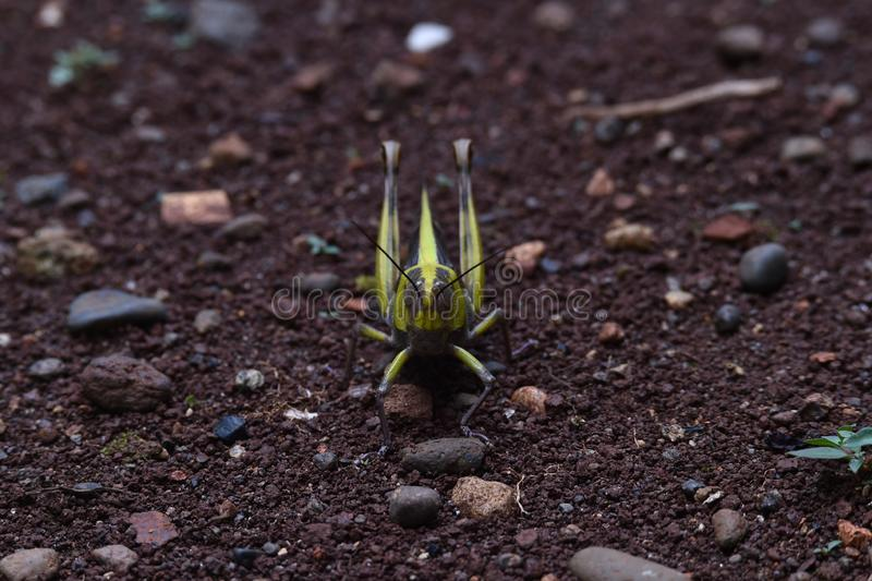 Yellow striped wood grasshopper on the head and wings. Above the ground in the yard of the house stock photos