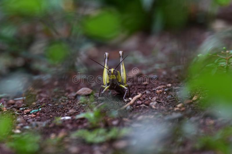 Yellow striped wood grasshopper on the head and wings. Above the ground in the yard of the house stock image