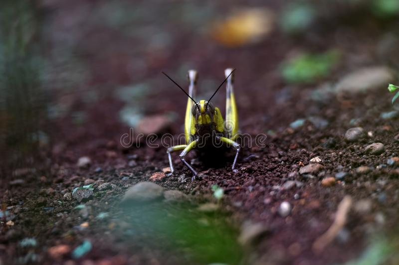 Yellow striped wood grasshopper on the head and wings. Above the ground in the yard of the house royalty free stock images