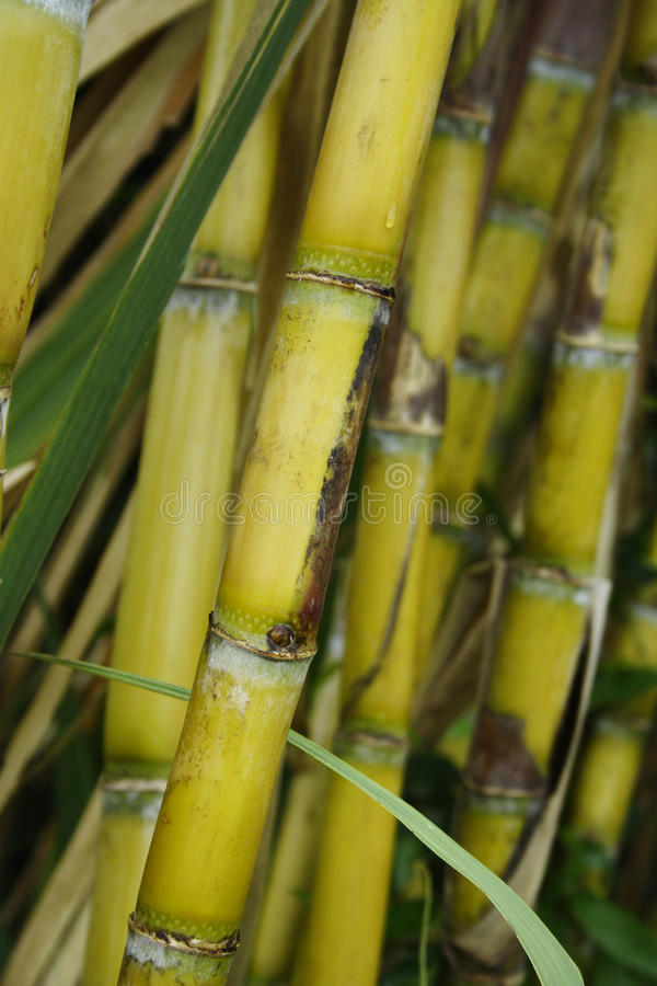 Sugar cane for sale in Vietnam -Good quality and ... |Sugar Cane Stalks