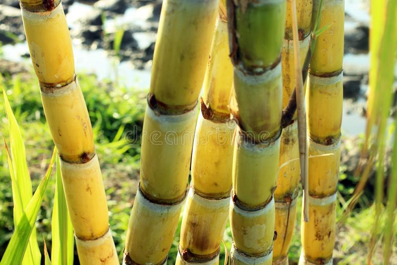 Yellow sugar cane trees. Fresh sugar cane in the field closeup royalty free stock photo