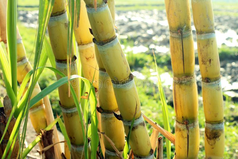 Yellow sugar cane trees. Fresh sugar cane in the field closeup. Agriculture, alcohol, bio, biofuel, cultivate, energy, environment, farmer, future, gasoline stock image