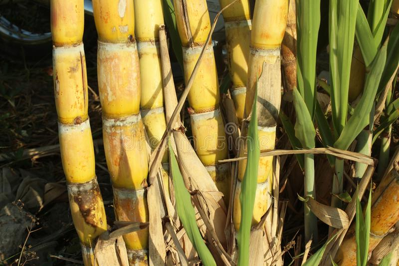 Yellow sugar cane trees. Fresh sugar cane in the field closeup stock images