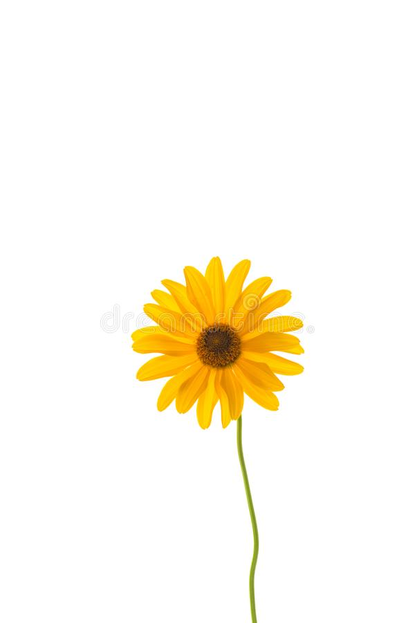 Yellow summer blooming daisy flower isolated on white. Background stock photos