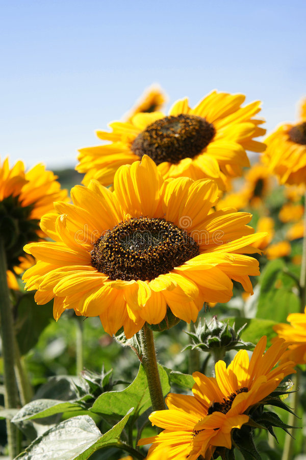 Yellow summer joy royalty free stock photography