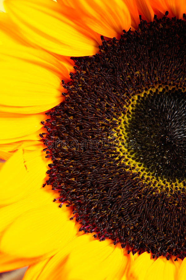 Yellow sunflower. Inside of yellow sunflower closeup stock images