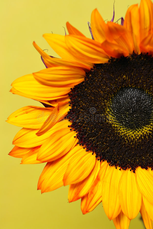 Yellow sunflower. Yellow oranage sunflower closeup with yellow background royalty free stock image