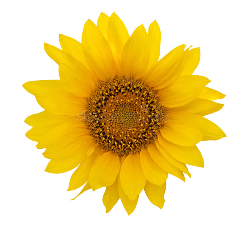 Yellow sunflower. On white background royalty free stock photography