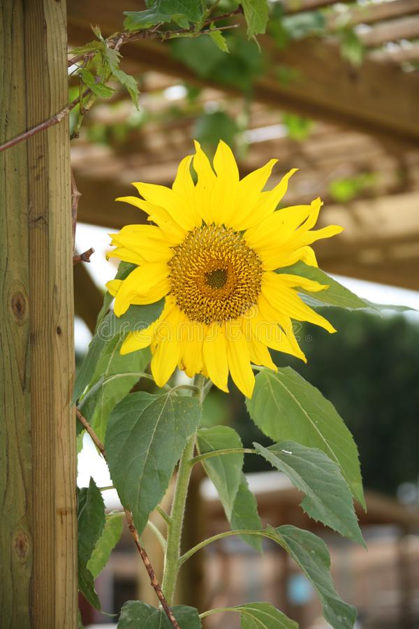 Yellow Sunflower royalty free stock photo