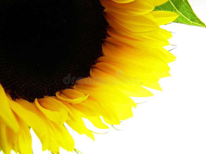 Yellow sunflower stock photos