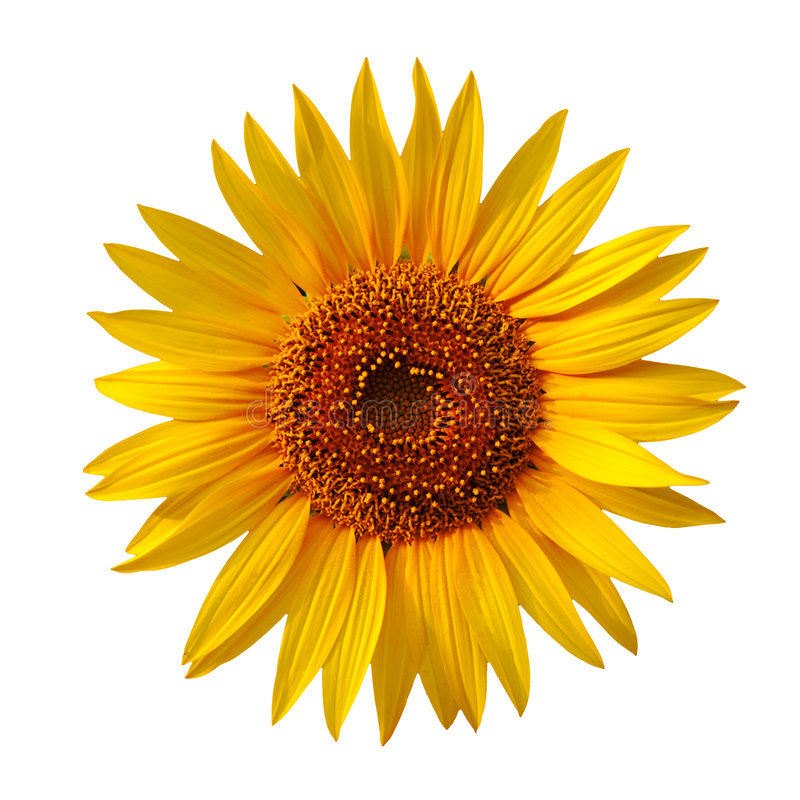 Yellow sunflower. Isolated on white royalty free stock photos