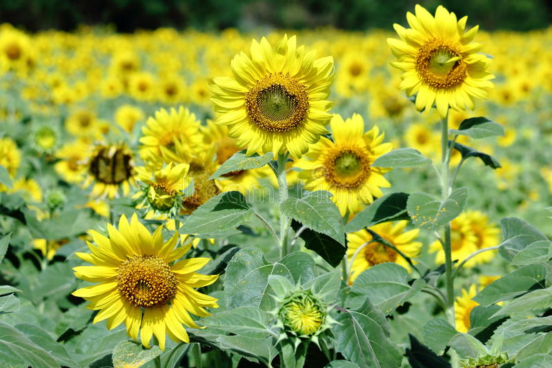Yellow Sunflower Blooming Through the fields stock photography