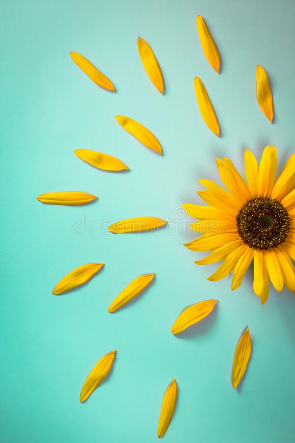 Yellow sunflower on bright blue background with petals. Emotion concept. Summer flat lay. Yellow sunflower on bright blue background with petals. Creative royalty free stock photography