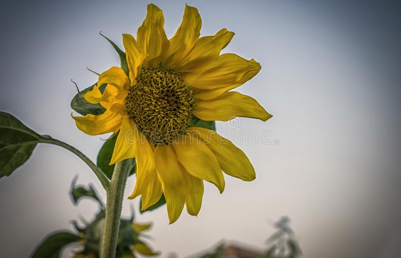 A yellow sunflower. A close-up of a yellow sunflower in a field royalty free stock images
