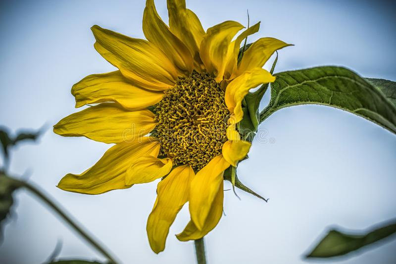 A yellow sunflower. A close-up of a yellow sunflower in a field royalty free stock image
