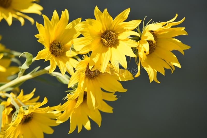 Yellow Sunflower, closeup, nature reclamation area. At Lake Hefner in NW Oklahoma City royalty free stock photo