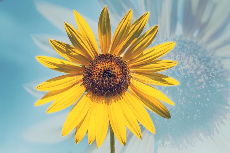 Yellow Sunflower. Double Exposure - Yellow Sunflower Background royalty free stock photo