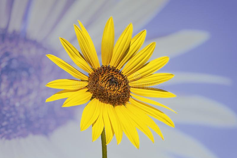 Yellow Sunflower. Double Exposure - Yellow Sunflower Background stock images