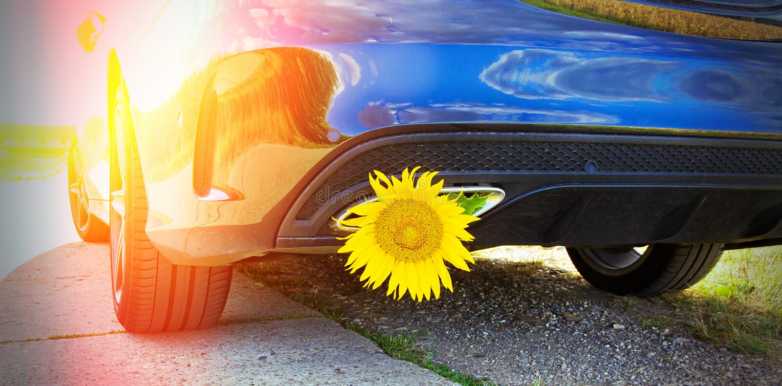 Yellow sunflower in a exhaust. Of car on a sunny day stock images