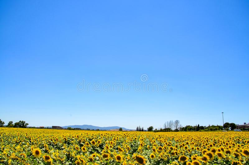 Yellow Sunflower Field royalty free stock image