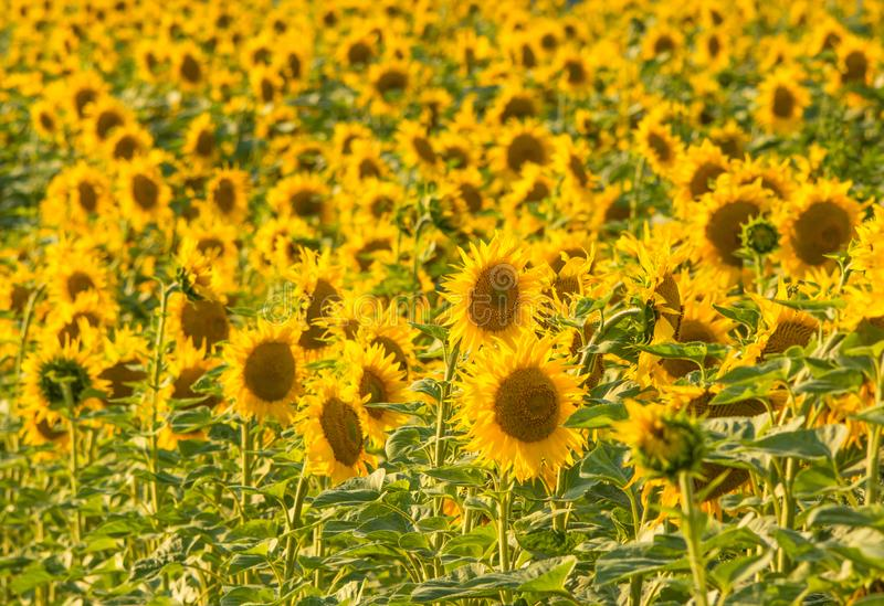 Yellow sunflower field background. Yellow sunflower field on the sunset, background royalty free stock photo