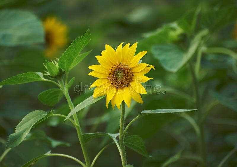 A yellow sunflower in the field. A beautiful yellow sunflower in the field stock images