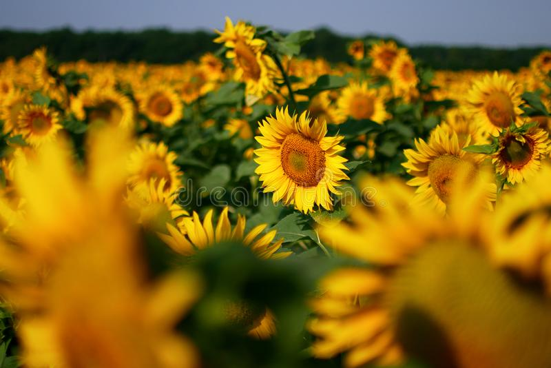 Yellow Sunflower field. In sunny summer day royalty free stock photos