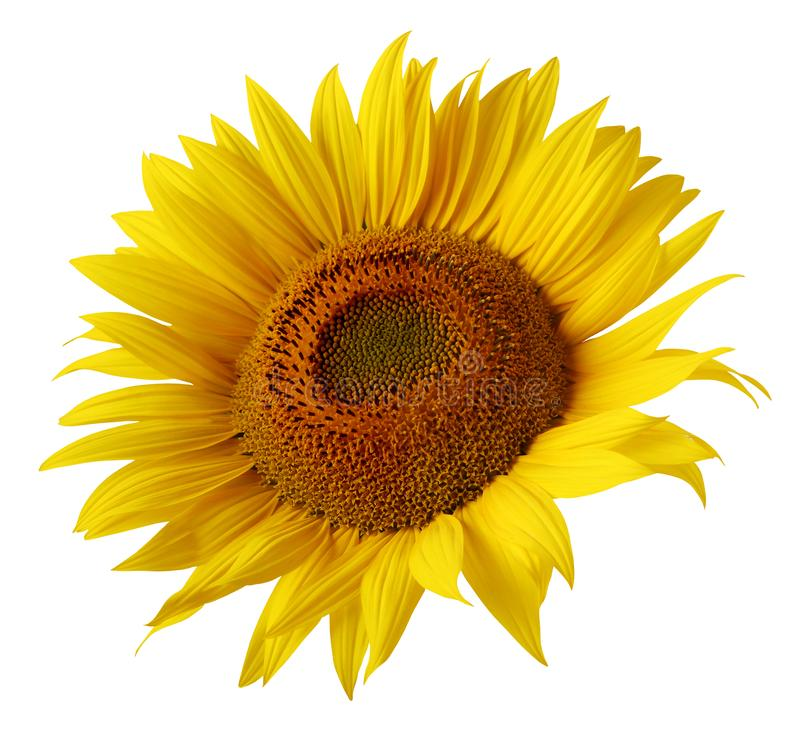 Yellow sunflower flower isolated on white background stock images