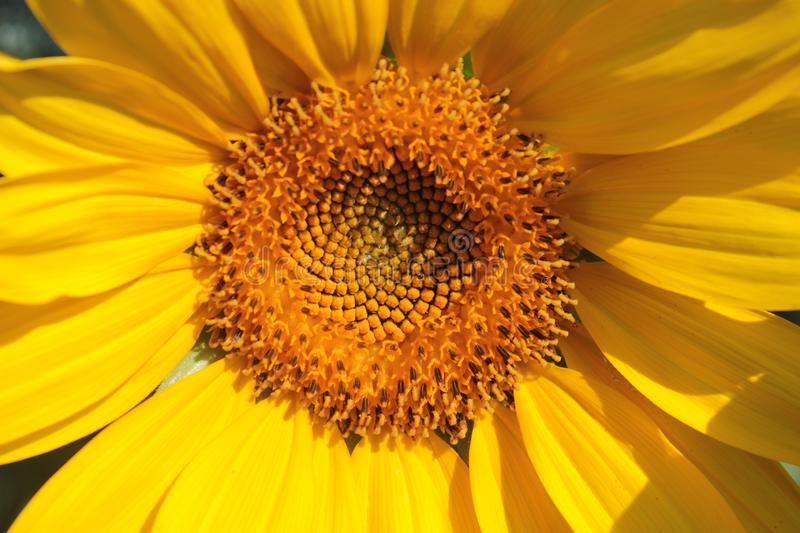 Yellow sunflower grows in beds. Yellow sunflower grows in summer beds royalty free stock photo