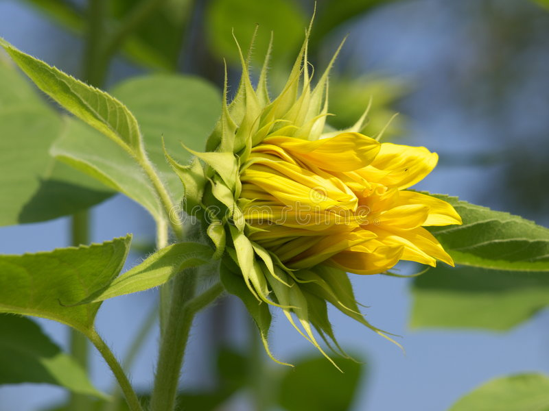 Yellow sunflower, like kiss royalty free stock images