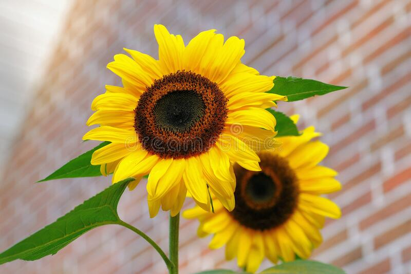 Yellow Sunflower Macro Photographyt Free Public Domain Cc0 Image